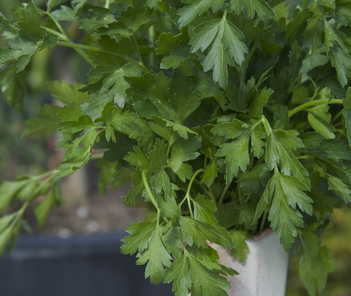 7 Facts About Parsley