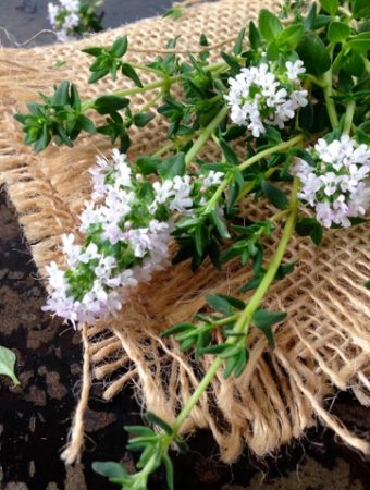 Thyme Varieties For Cooking