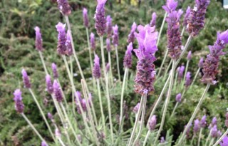 Lavender Guide - Facts and Uses